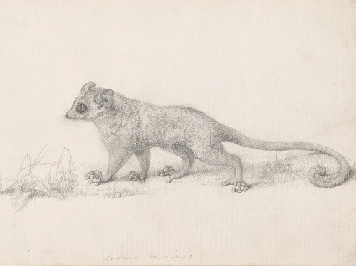 George Stubbs (1724-1806), 'Marmaduke Tunstall's Mouse Lemur' 1773. Pencil on paper 19.8 x 30.8 cm © Trustees of the British Museum
