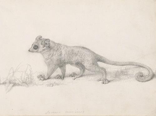 George Stubbs (1724-1806), 'Marmaduke Tunstall's Mouse Lemur' 1773. Pencil on paper 19.8 x 30.8 cm © Trustees of the British Museum